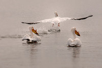 American White Pelican take off-