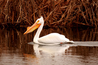 American White Pelicans_1-2