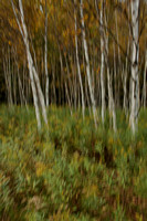 Abstract of Birch Trees-3009639