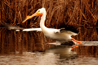 American White Pelicans_2-2