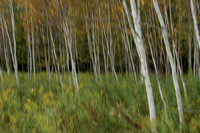 Abstract of Birch Trees-3009660