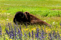 Bison in Lupine Yellowstone